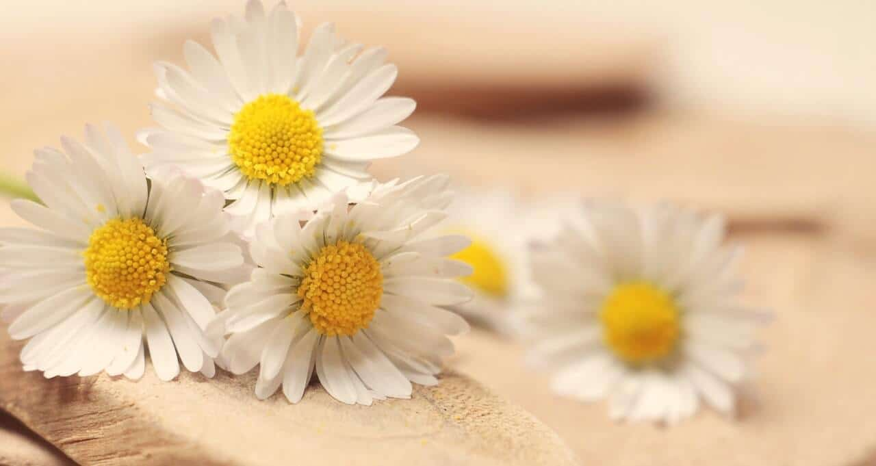 chamomile for acne